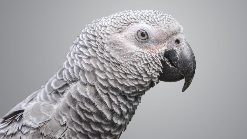 4 év után tért vissza a gazdájához egy papagáj, de valami nem stimmelt a madárral