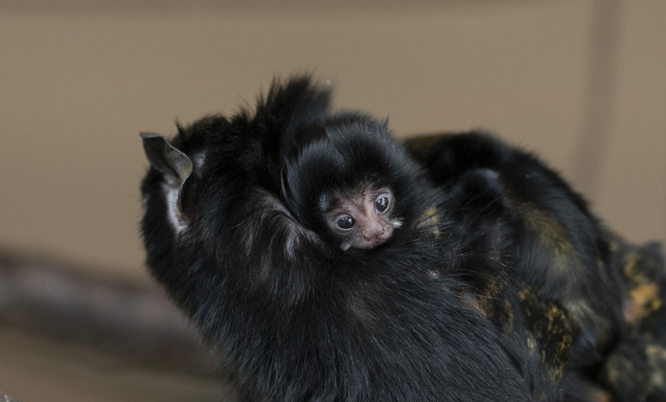 Aranykezű tamarin-ikrek születtek a Debreceni Állatkertben!