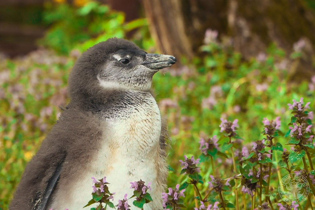 Idén is sétálhatunk a Debreceni Állatkert pingvinovisaival!