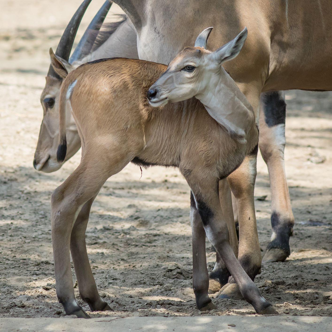Igazi ritkaság, jávorantilop született a Debreceni Állatkertben!