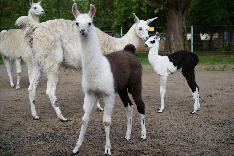 Ismét lámacsikó született a Debreceni Állatkertben!