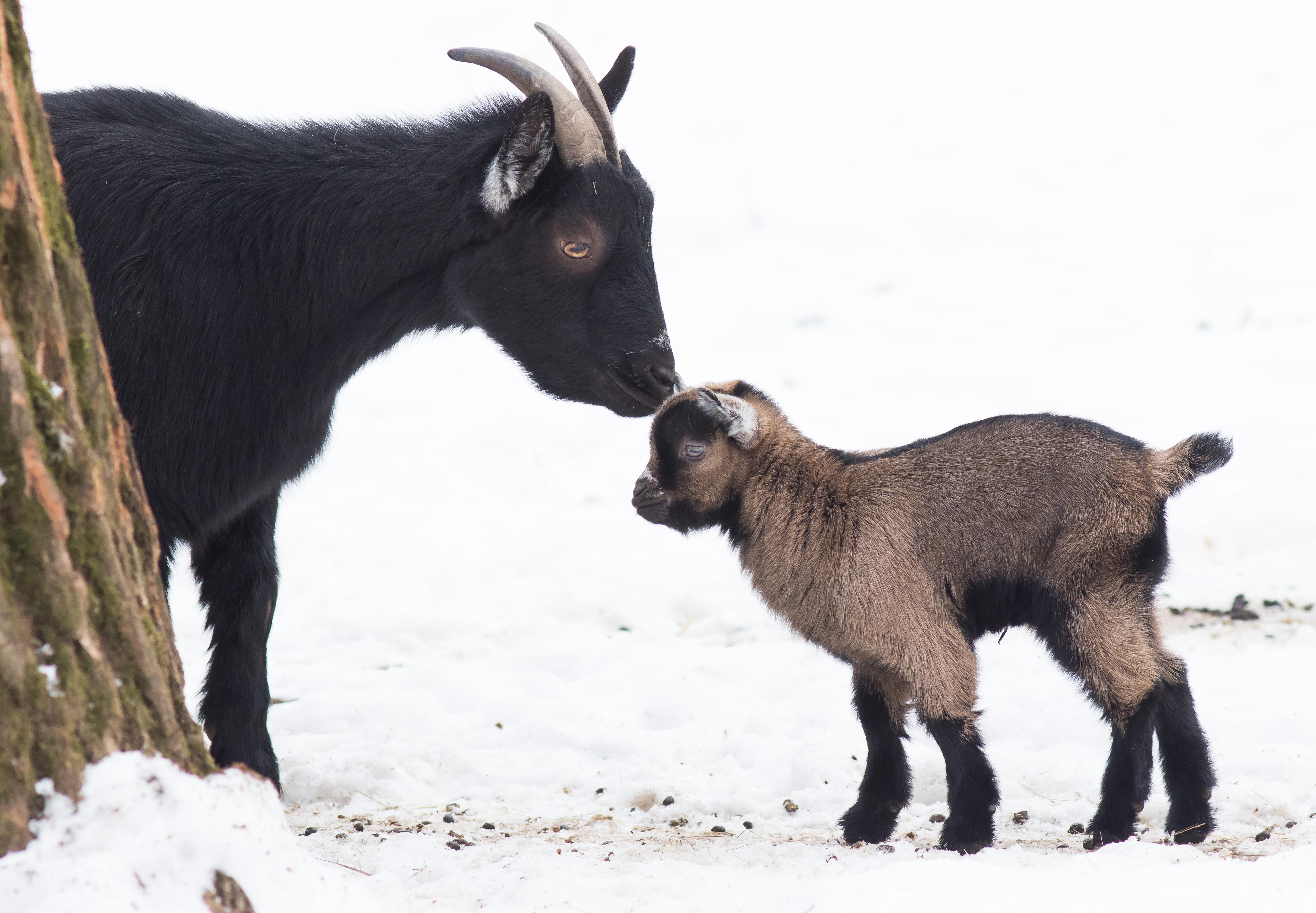"""Törpegida született a Debreceni Állatkertben!""""/></p> <p>A kis kameruni törpekecske gida az év első jövényeként 2019. január 6-án született és remek egészségnek örvend, étvágya kifogástalan. A virgonc gödölye alig nagyobb egy kifejlett házi macskánál, de rögtön beilleszkedett a 23 egyedből álló kecskenyájba. A kameruni törpekecskék Nyugat – Afrikából, a Guinea – öbölben elhelyezkedő Kamerunból származnak. Ezt a fajtát tartják a vadkecske első domesztikált változatának, mely már világszerte népszerű kecskefajtaként terjedt el. A kameruni őslakosok tej-és húshaszna miatt is tartják, de eredeti élőhelyén kívül kedvelt hobbifajta is kis termete és vidám természete jóvoltából.  A törpekecskék csapatokban élnek, melynek tagjai különbözőképpen kommunikálnak egymással hangokkal, testtartással, mozgásokkal és szaganyagokkal. A legfiatalabb jókedvű kisgida szüleivel és társaival együtt megtekinthető az állatkertben.</p> <p><img src="""
