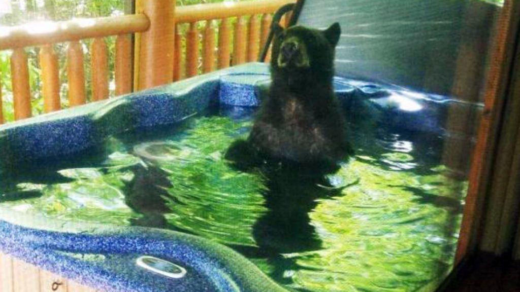 Medvebocs pancsolt egy tennesseei pár jacuzzijában