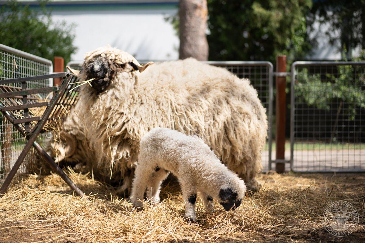 Bohókás bárány született a Debreceni Állatkertben, most elnevezheti!
