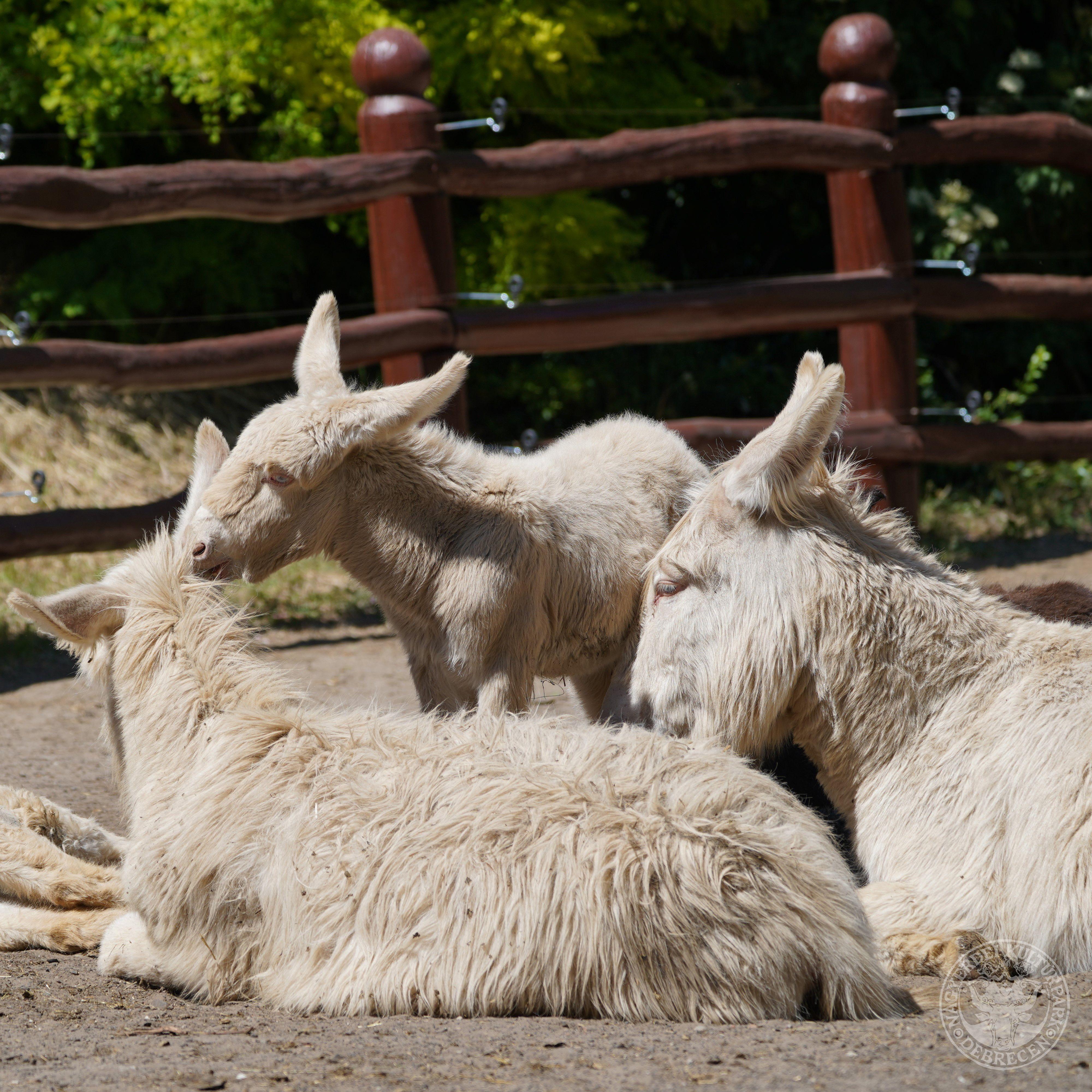 Ismét fehér parlagi szamárcsikó született a Debreceni Állatkertben!