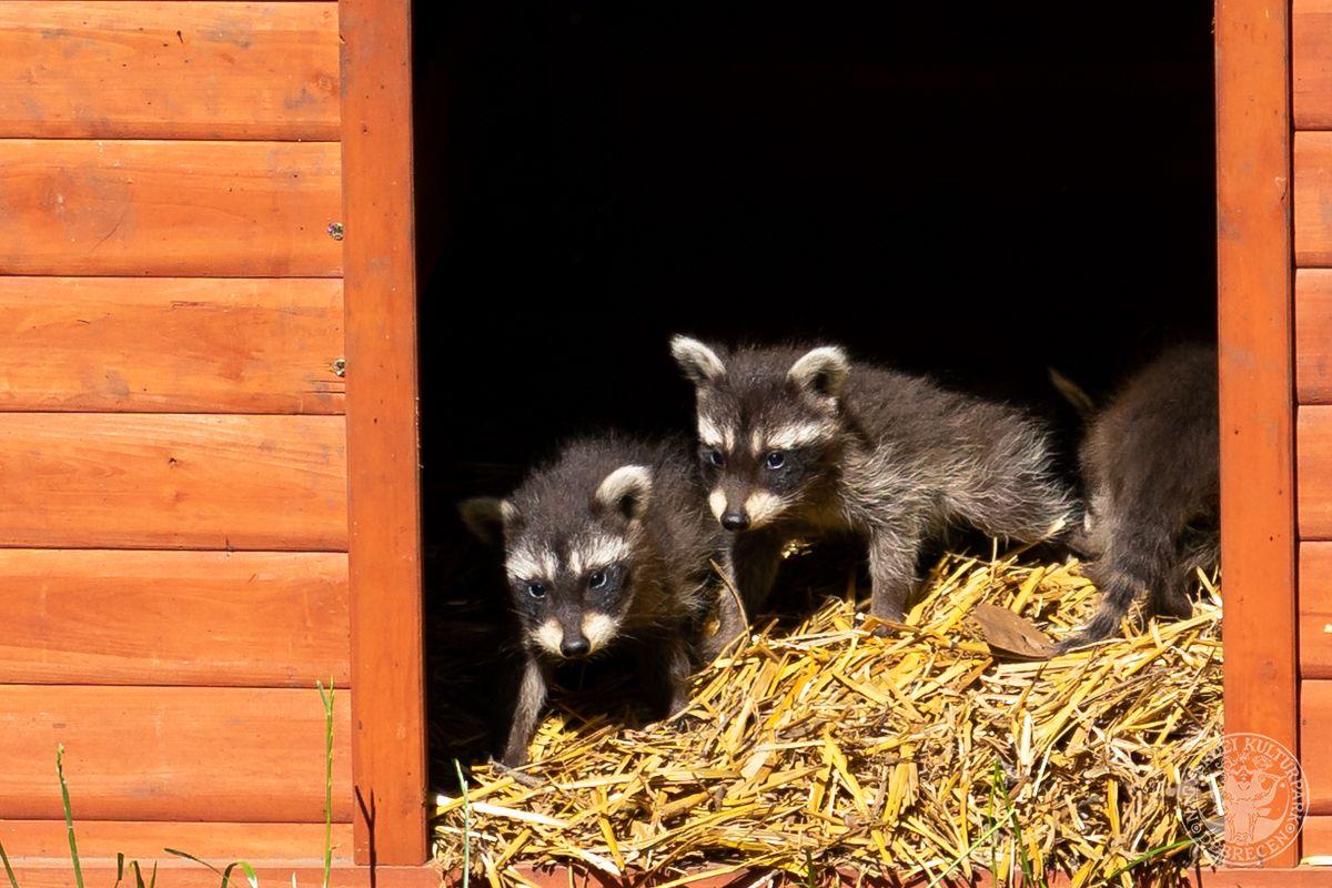 Öt kis banditával gyarapodott a Debreceni Állatkert mosómedvecsapata!