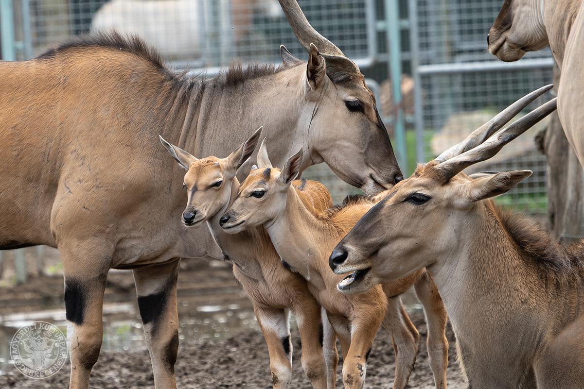 Tovább gyarapodott a Debreceni Állatkert jávorantilop-csordája! (Gyökér Máté Fotója)