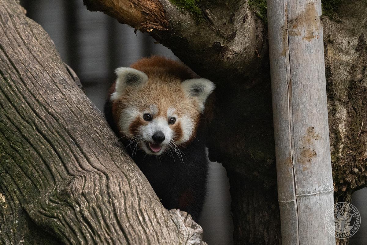 Udvarló érkezett a Debreceni Állatkert vörös panda nőstényeihez!