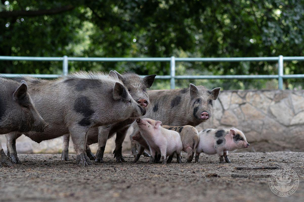 Tarka törpemalacok születtek a Debreceni Állatkertben! (Gyökér Máté fotója)