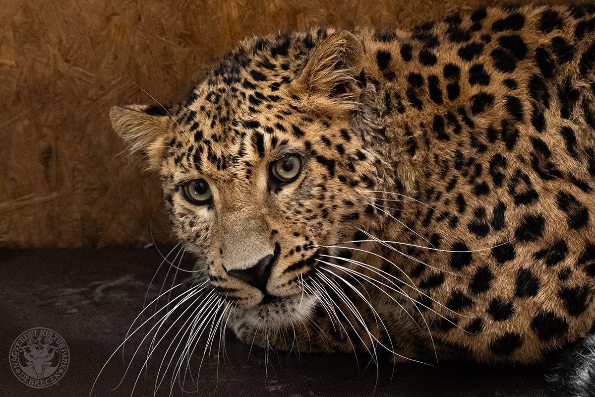 Tekintélyt parancsoló észak-kínai leopárd hím érkezett a Debreceni Állatkertbe! (Gyökér Máté fotója)