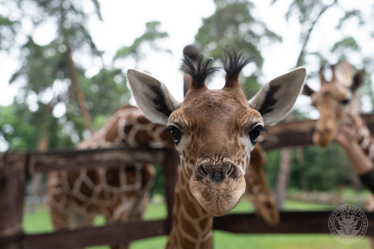 Zsiráflány született a Debreceni Állatkertben!