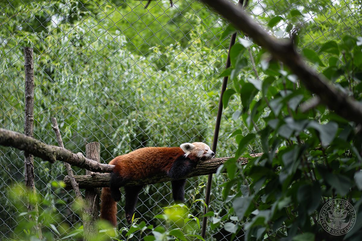 Kép: Szombaton a vörös pandákat ünneplik a Debreceni Állatkertben!