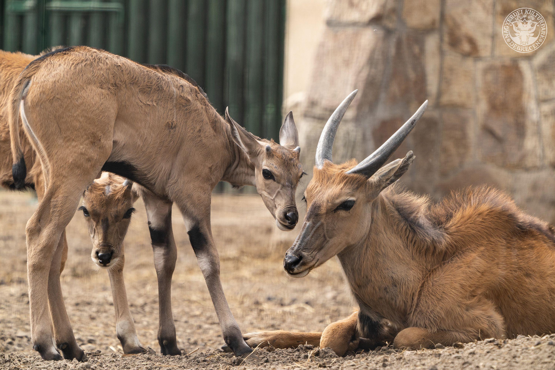 Ismét jávorantilop született a Debreceni Állatkertben!