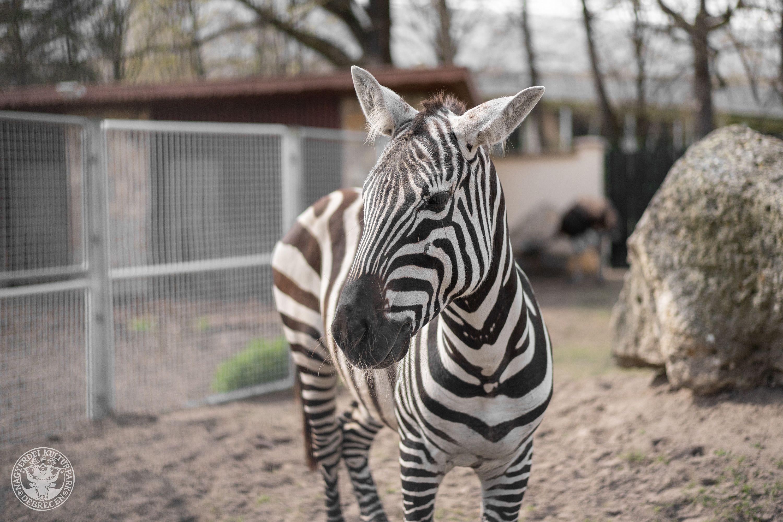 Újabb nemzetközi fajmegőrzési program alapításában vesz részt a Debreceni Állatkert!