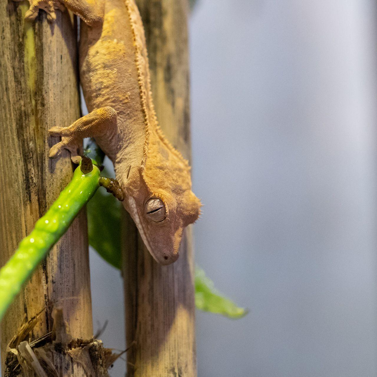 Különleges és fenyegetett új gekkófajok a Debreceni Állatkertben!