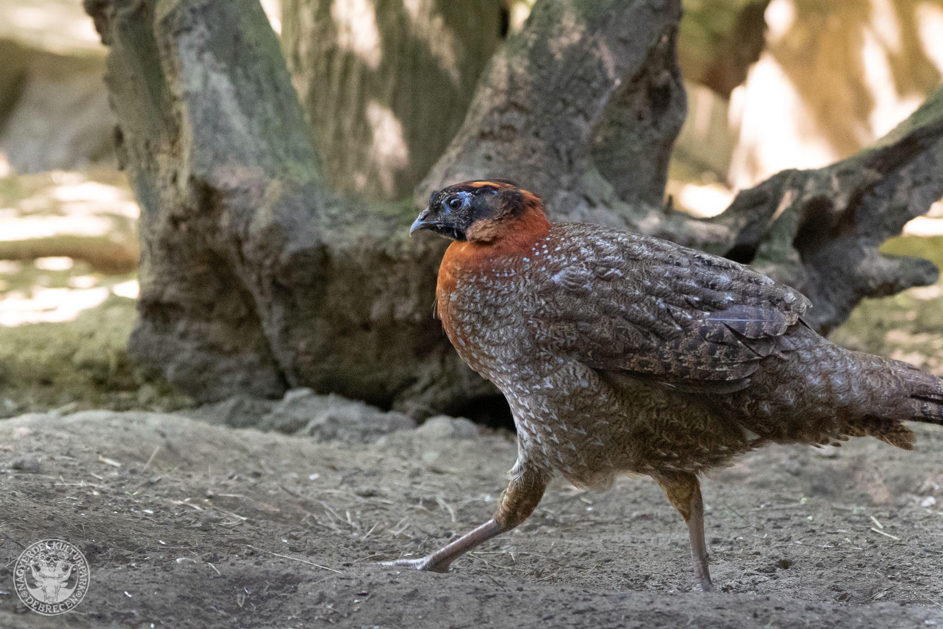 Újabb ritka távol-keleti fácánfélék láthatók a Debreceni Állatkertben!