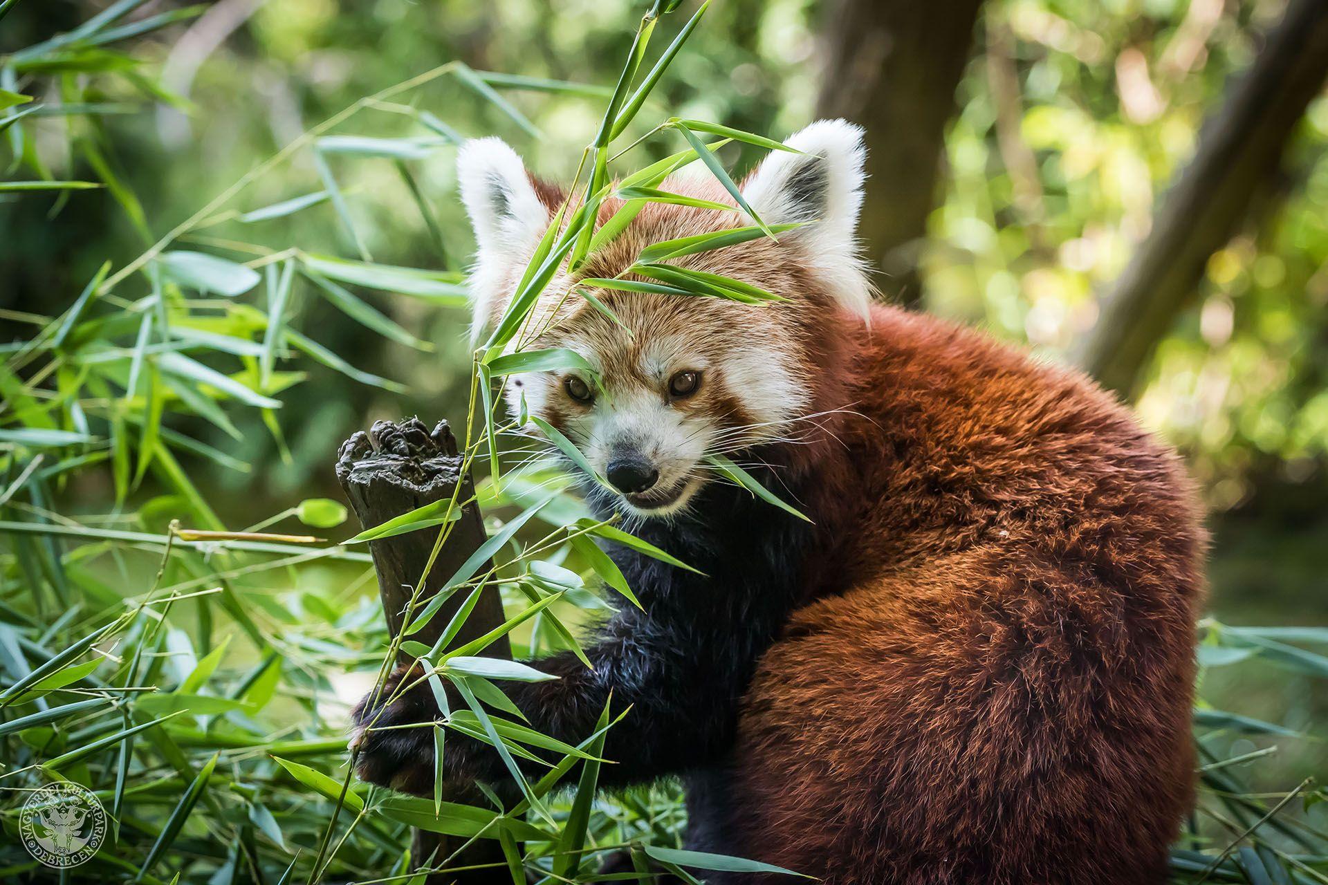 Szombaton a vörös pandákat ünneplik a Debreceni Állatkertben!