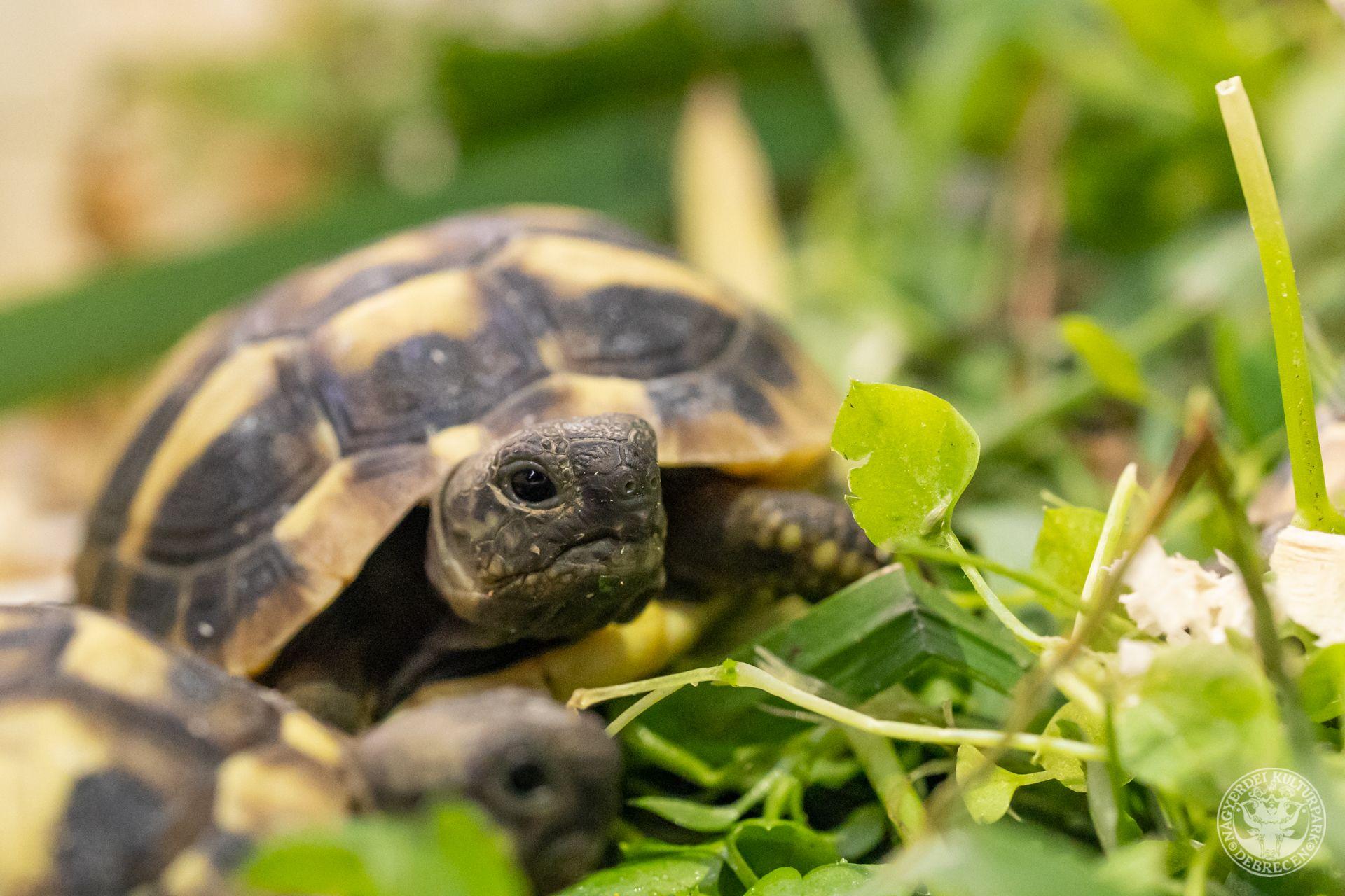 Görög teknősök keltek a Debreceni Állatkertben!