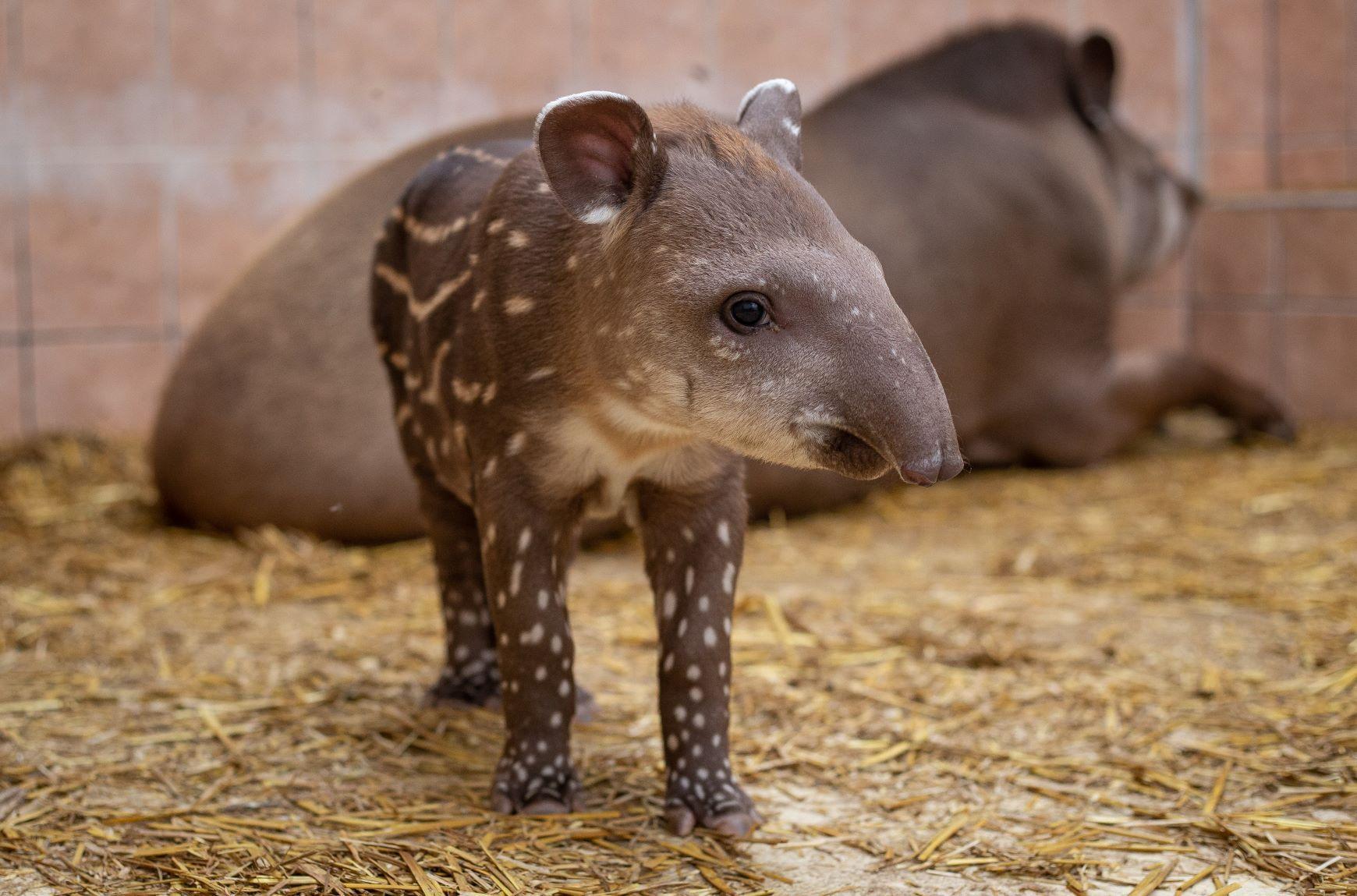 Újra tapírbébi született a Debreceni Állatkertben!